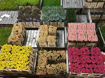 Valentine's Day - The role of The Netherlands in global flower export